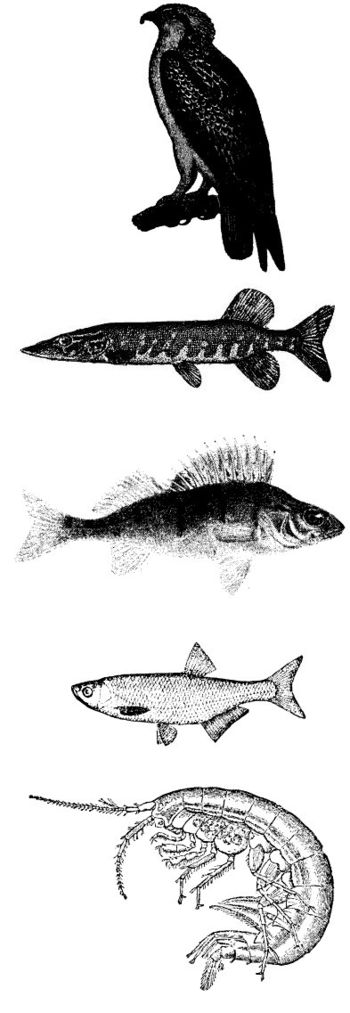Food chain in a swedish lake. From the bottom:...